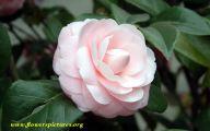 Pink Camellias 28 Wide Wallpaper