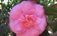 Pink Camellias 31 Widescreen Wallpaper