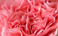 Pink Carnations 12 Free Wallpaper