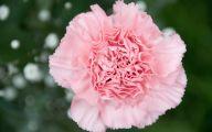 Pink Carnations 15 Widescreen Wallpaper