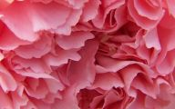 Pink Carnations 22 Free Hd Wallpaper