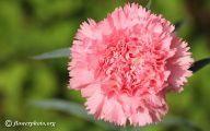 Pink Carnations 25 Free Wallpaper