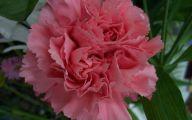 Pink Carnations 26 Hd Wallpaper