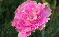 Pink Carnations 29 Background