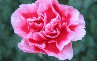 Pink Carnations 30 Wide Wallpaper
