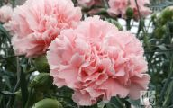 Pink Carnations 31 Cool Wallpaper