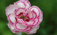 Pink Carnations 32 Cool Hd Wallpaper
