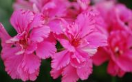 Pink Carnations 6 Background