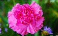 Pink Carnations 7 Free Wallpaper
