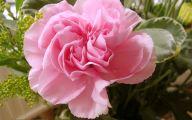 Pink Carnations 8 Wide Wallpaper