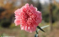 Pink Carnations 9 Hd Wallpaper