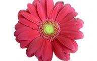 Pink Daisy 15 Desktop Wallpaper