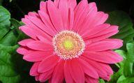 Pink Daisy 18 Cool Hd Wallpaper
