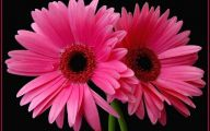 Pink Daisy 2 Desktop Background
