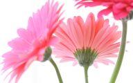 Pink Daisy 20 Cool Wallpaper