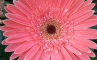 Pink Daisy 27 Background Wallpaper