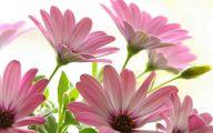 Pink Daisy 35 Widescreen Wallpaper