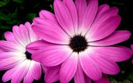 Pink Daisy 7 Cool Wallpaper
