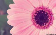 Pink Daisy 9 Widescreen Wallpaper