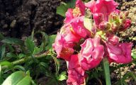 Pink Flowers Codominance  3 Wide Wallpaper