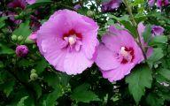 Pink Flowers Dark Green Leaves  14 Desktop Wallpaper