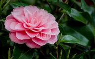 Pink Flowers Dark Green Leaves  25 Cool Hd Wallpaper