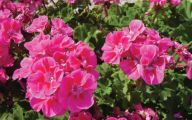 Pink Flowers Dark Green Leaves  30 Cool Hd Wallpaper