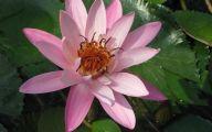 Pink Lotus 21 Background Wallpaper