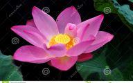 Pink Lotus 26 High Resolution Wallpaper