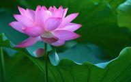 Pink Lotus 27 Free Hd Wallpaper