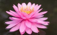 Pink Lotus 35 Free Wallpaper
