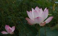 Pink Lotus 37 Cool Wallpaper