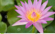 Pink Lotus 8 Desktop Background