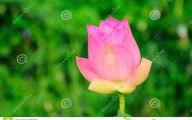 Pink Lotus 9 Widescreen Wallpaper