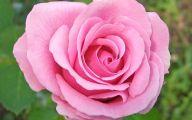 Pink Rose Wallpaper 20 Desktop Background