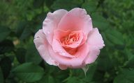 Pink Rose Wallpaper 25 Free Wallpaper
