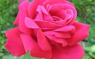 Pink Roses 13 Background