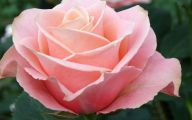 Pink Roses 15 Background