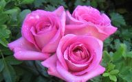 Pink Roses 2 Desktop Background
