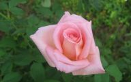 Pink Roses 25 Widescreen Wallpaper