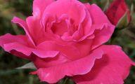 Pink Roses 33 Hd Wallpaper