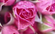 Pink Roses 35 Cool Wallpaper