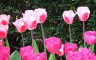 Pink Tulips 18 Widescreen Wallpaper