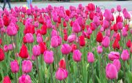 Pink Tulips 5 Widescreen Wallpaper