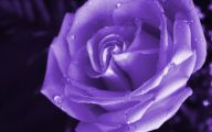 Purple Roses Wallpaper 1 Hd Wallpaper