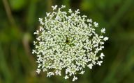 Queen Annes Lace 1 Free Wallpaper