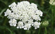Queen Annes Lace 12 Background Wallpaper
