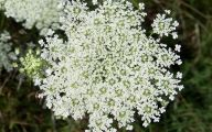 Queen Annes Lace 16 Background Wallpaper