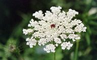 Queen Annes Lace 2 Free Wallpaper