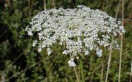 Queen Annes Lace 28 Background Wallpaper